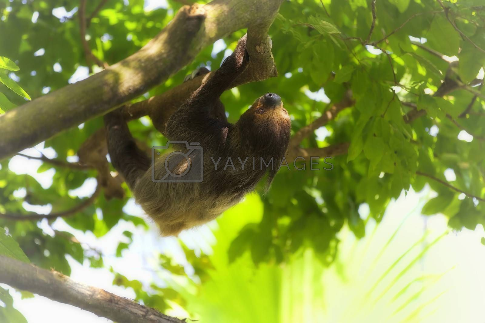 A Two-toed Sloth climbing down the tree in Manuel Antonio national park