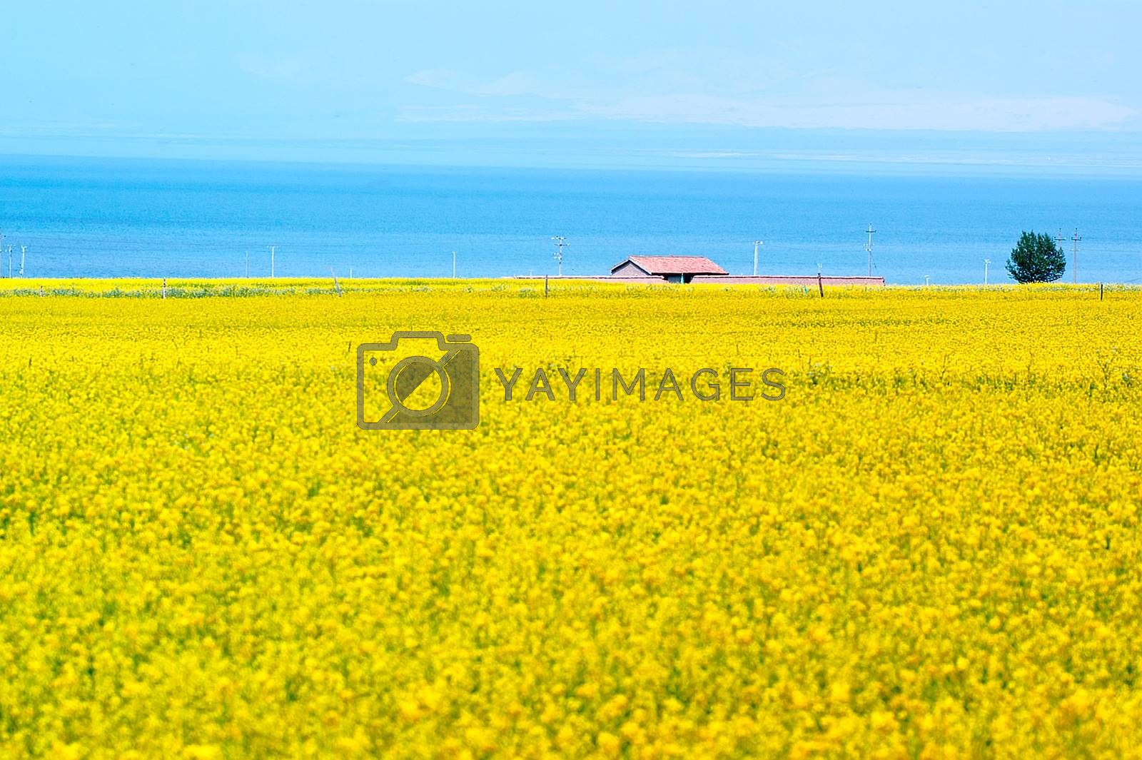 Qinghai Lake views - canola flower fields by xfdly5