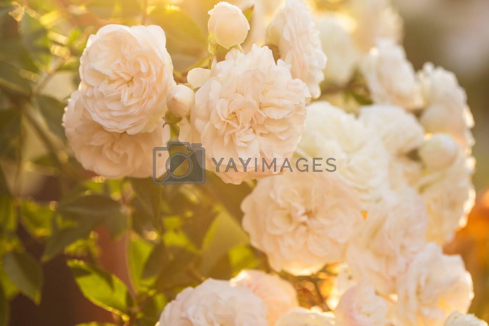 A bush of white roses in sunset backlight
