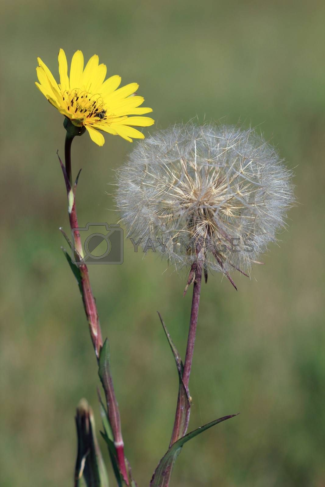 dandelion on meadow spring season