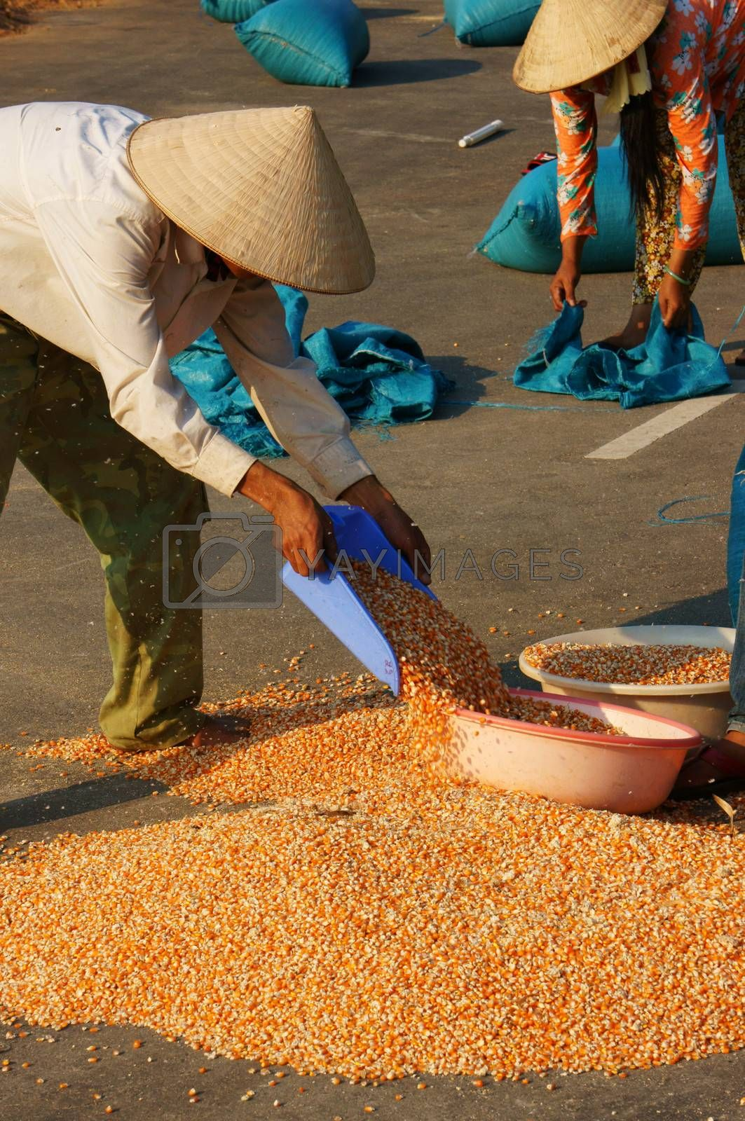 DAKLAK, VIETNAM- FEB 6: People collect maize of a good crop after dry corn on drying ground , yellow corn kernel dried ready for foodstuff pruduce , Viet Nam, Feb 6, 2014