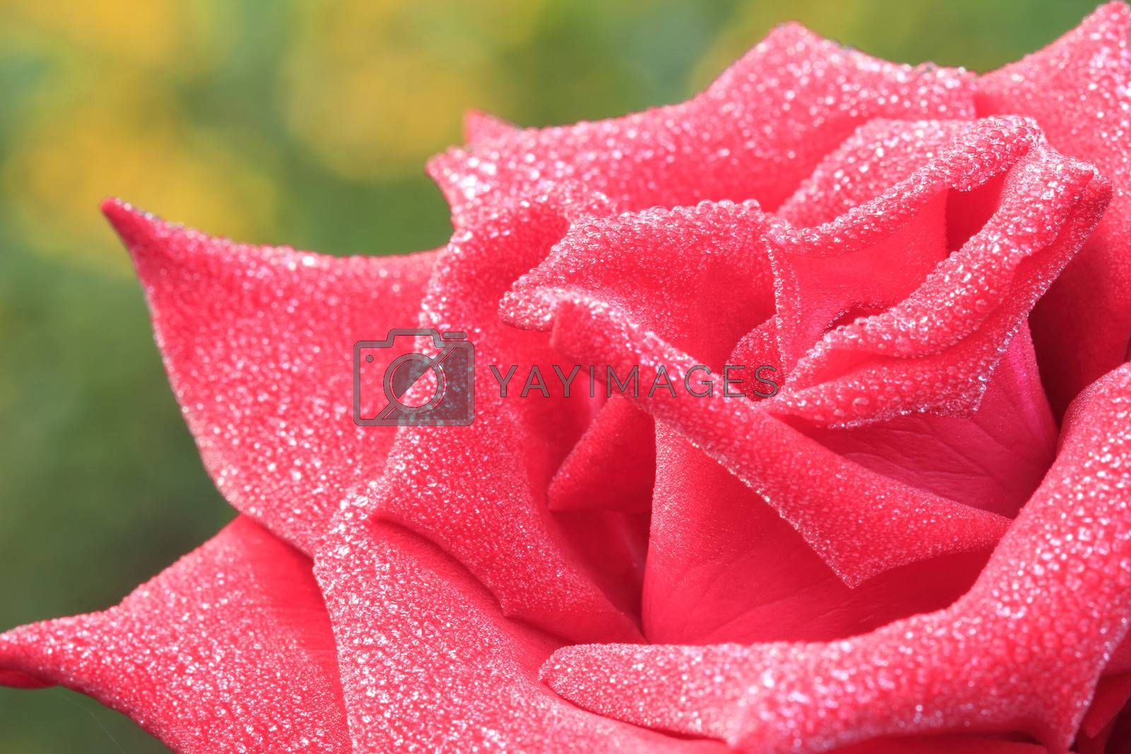 Red rose close up with dew water drops in morning
