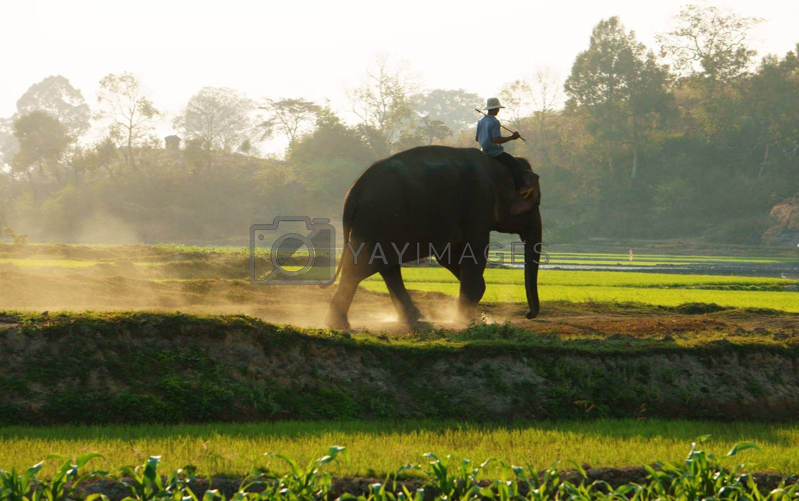 BUON ME THUOT, VIETNAM- FEB 7: People ride elephant on path at countryside, dusty way by dust of soil, vegetalble field in green at evening, mahout ride this animal for travel, Viet Nam, Feb 7, 2014