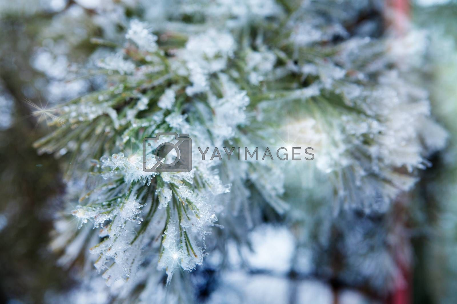 branch of a conifer with snow
