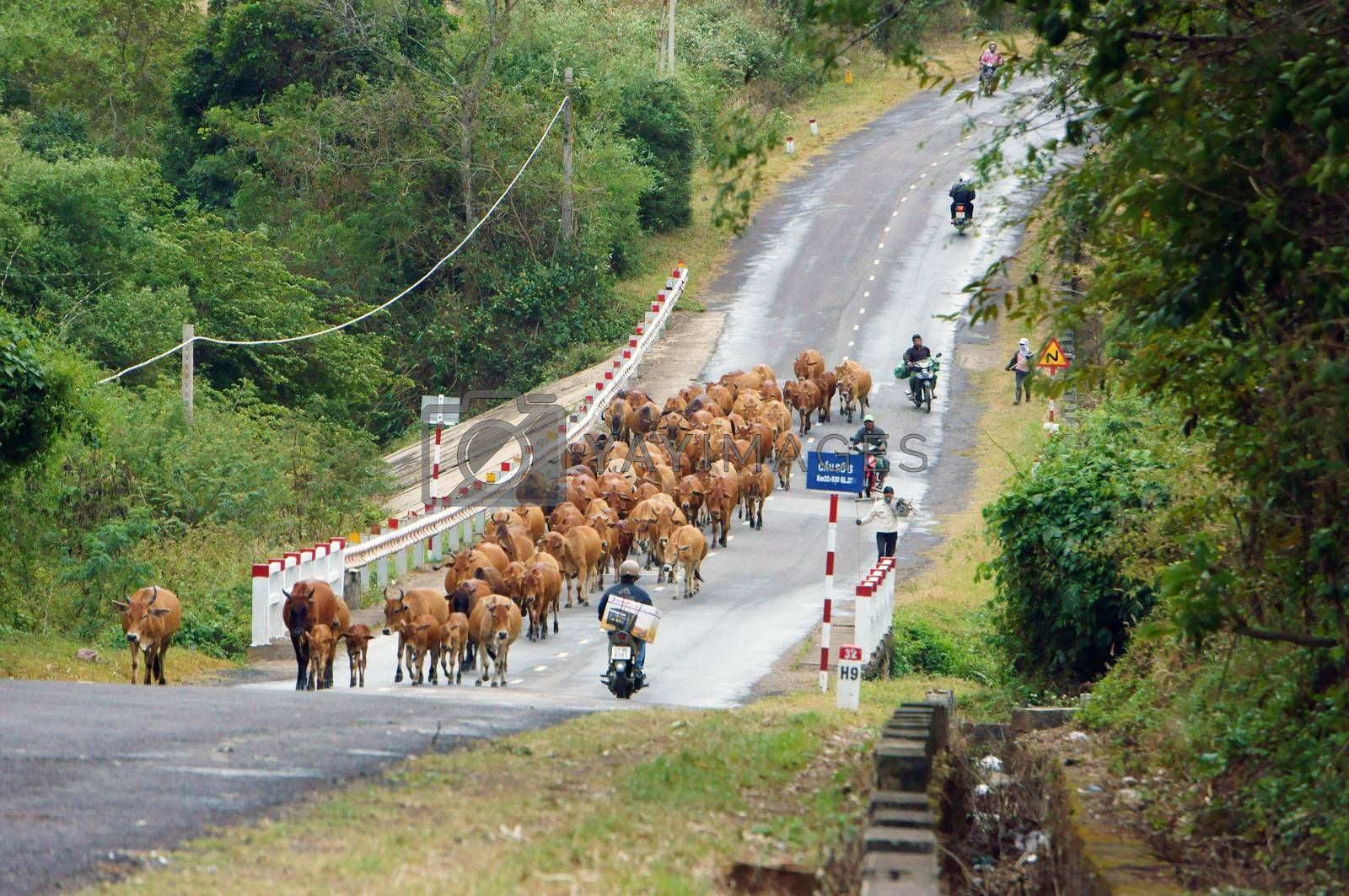 DAKLAK, VIET NAM-  DECEMBER 30: A herd of dense cow going on the road with motorbike at Daklak, December 30, 2012
