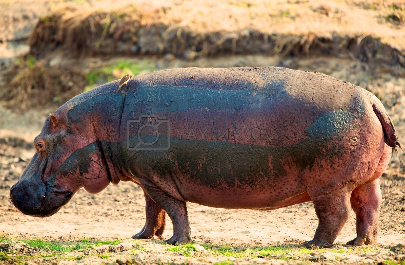 hippo in the wild