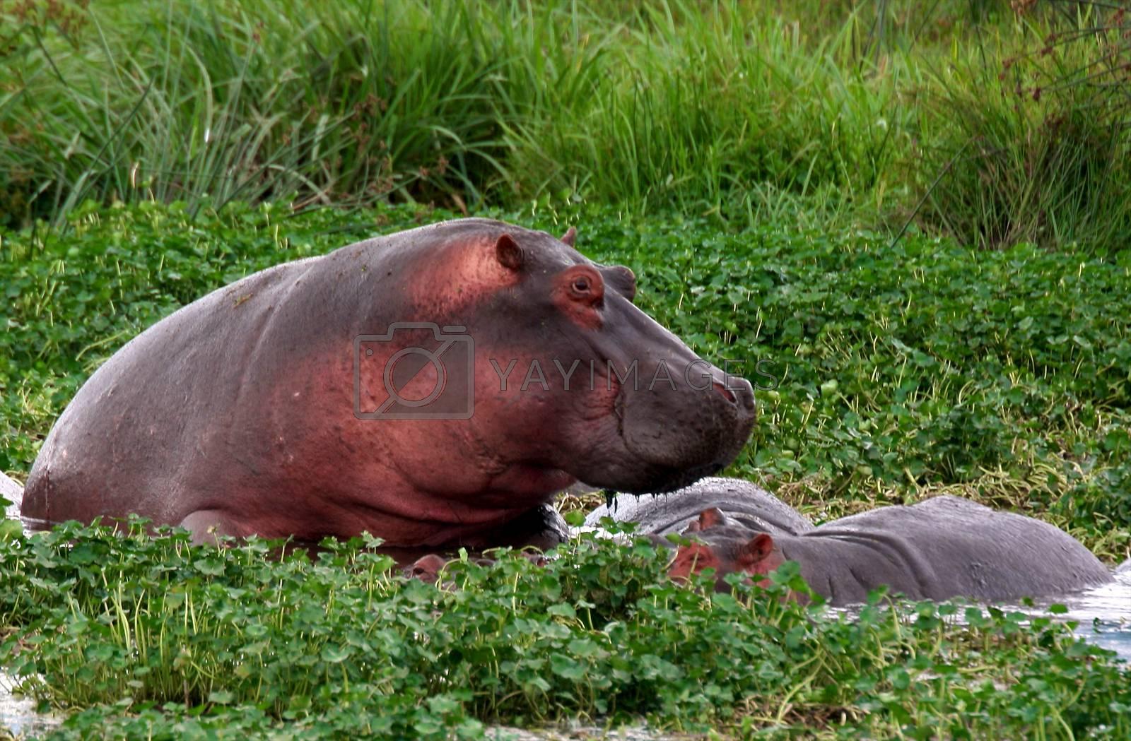 Hippo in national park Tanzania