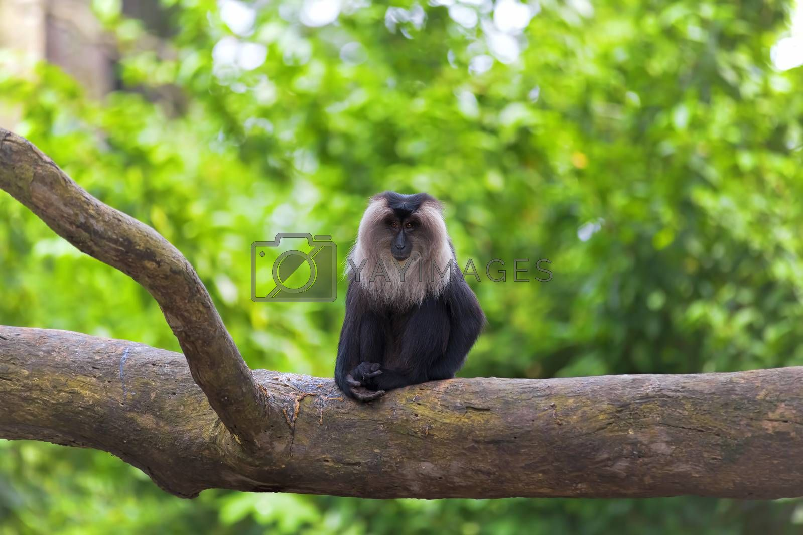Lion-tailed Macaque sitting on a branch in the jungle