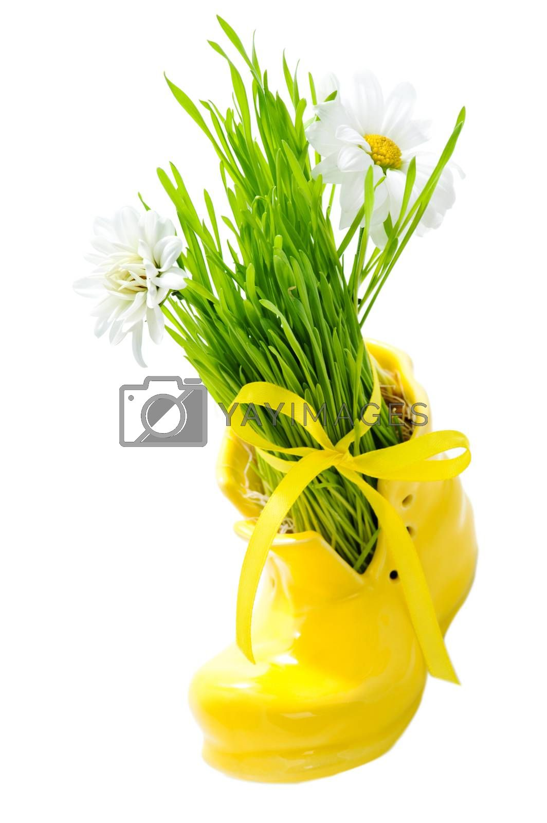 Green grass in a yellow shoe tied with a ribbon isolated on white