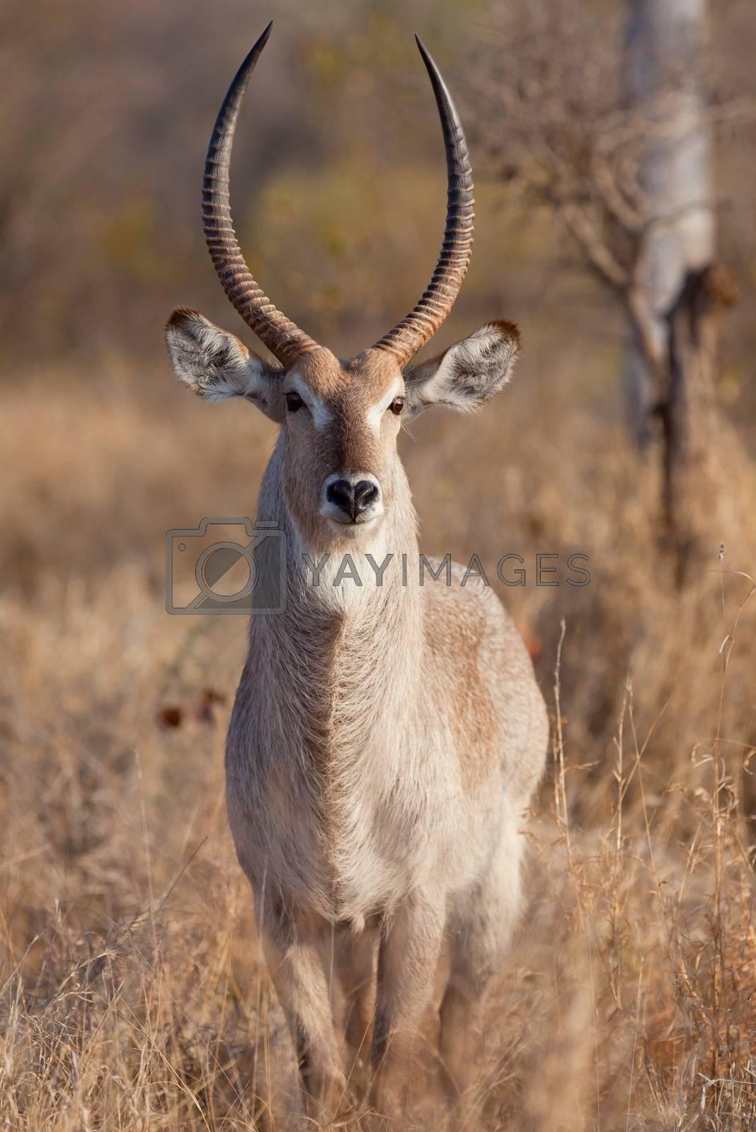 impala in the wild