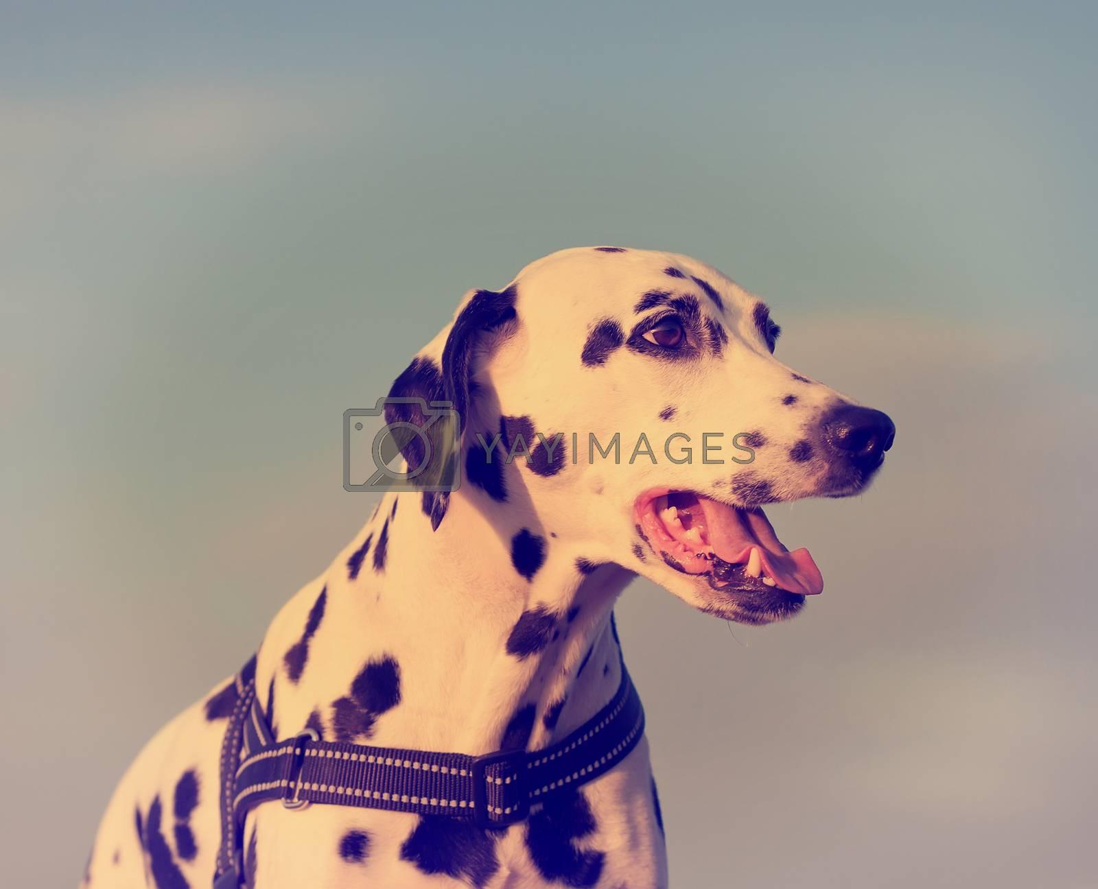 Closeup portrait of Dalmatian dog at sunset