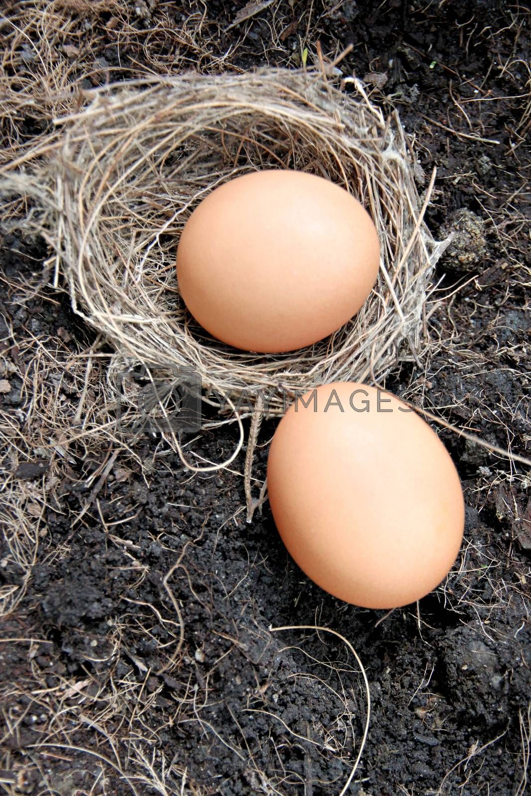 The Picture Eggs in nests placed on ground.