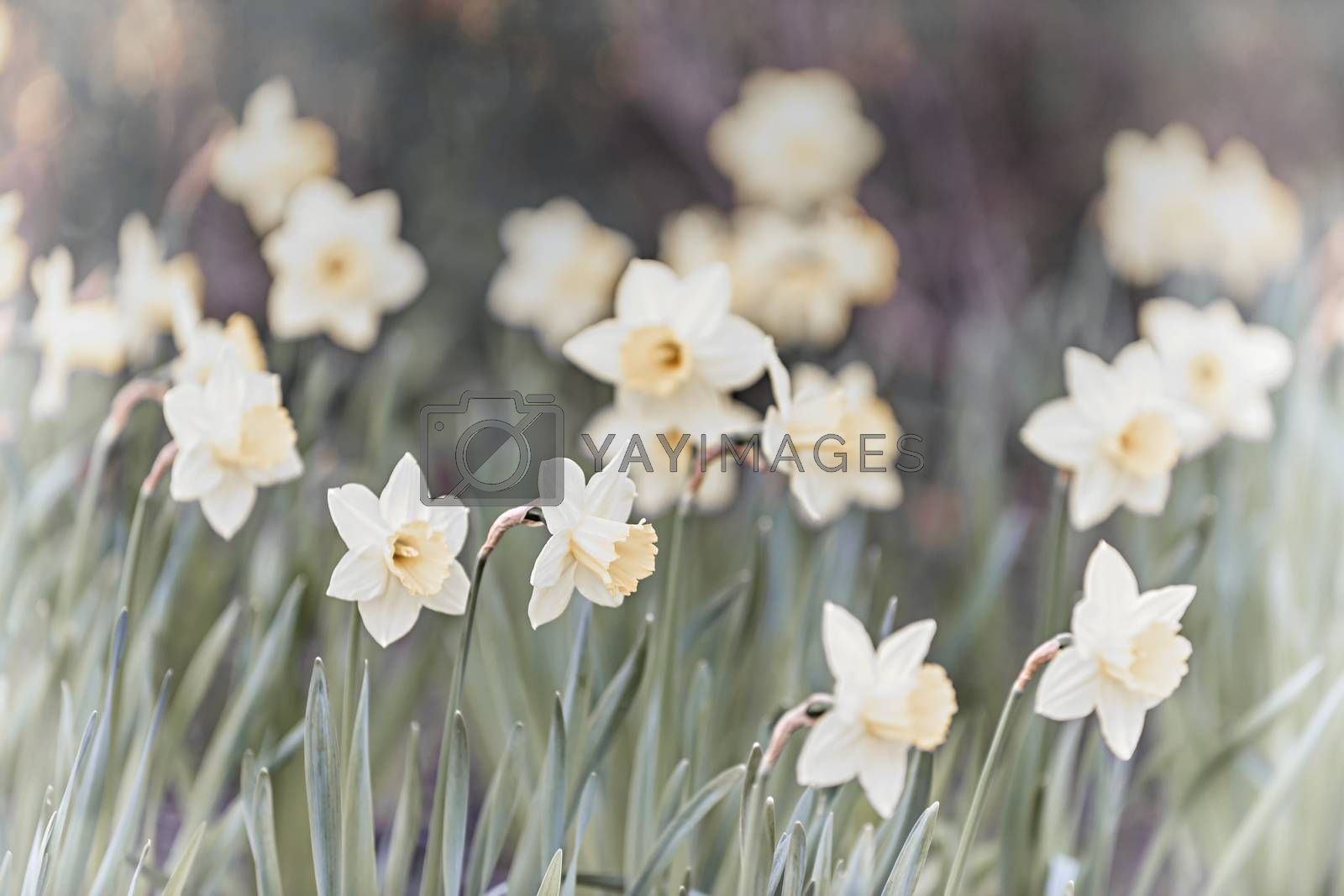 Field of blooming white daffodil flowers in spring