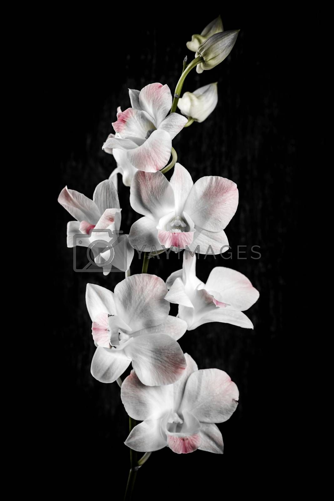 Pink and white orchid flowers on black background