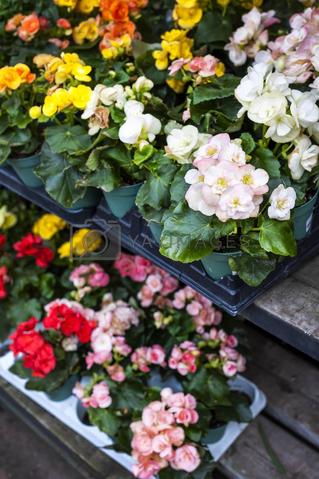 Trays of flowers for sale in plant nursery store