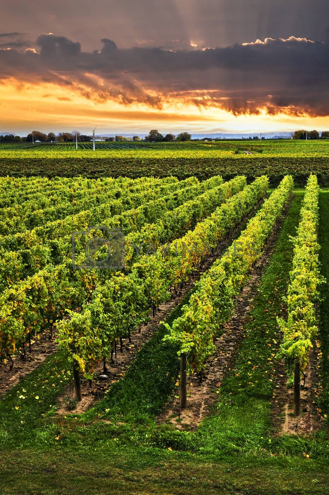 Vineyard at sunset in Niagara peninsula, Ontario, Canada.