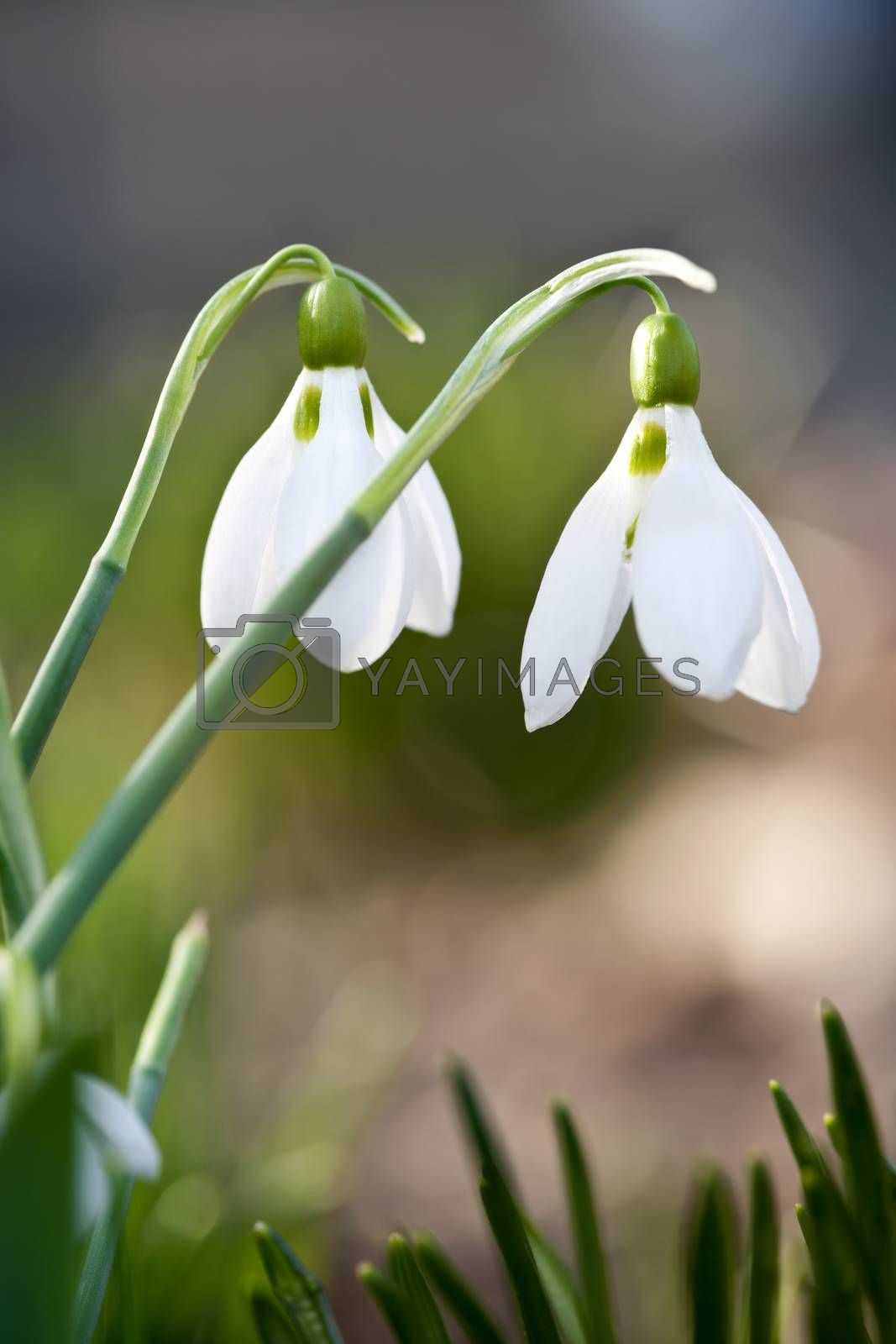 Closeup of white spring snowdrops with delicate green stems