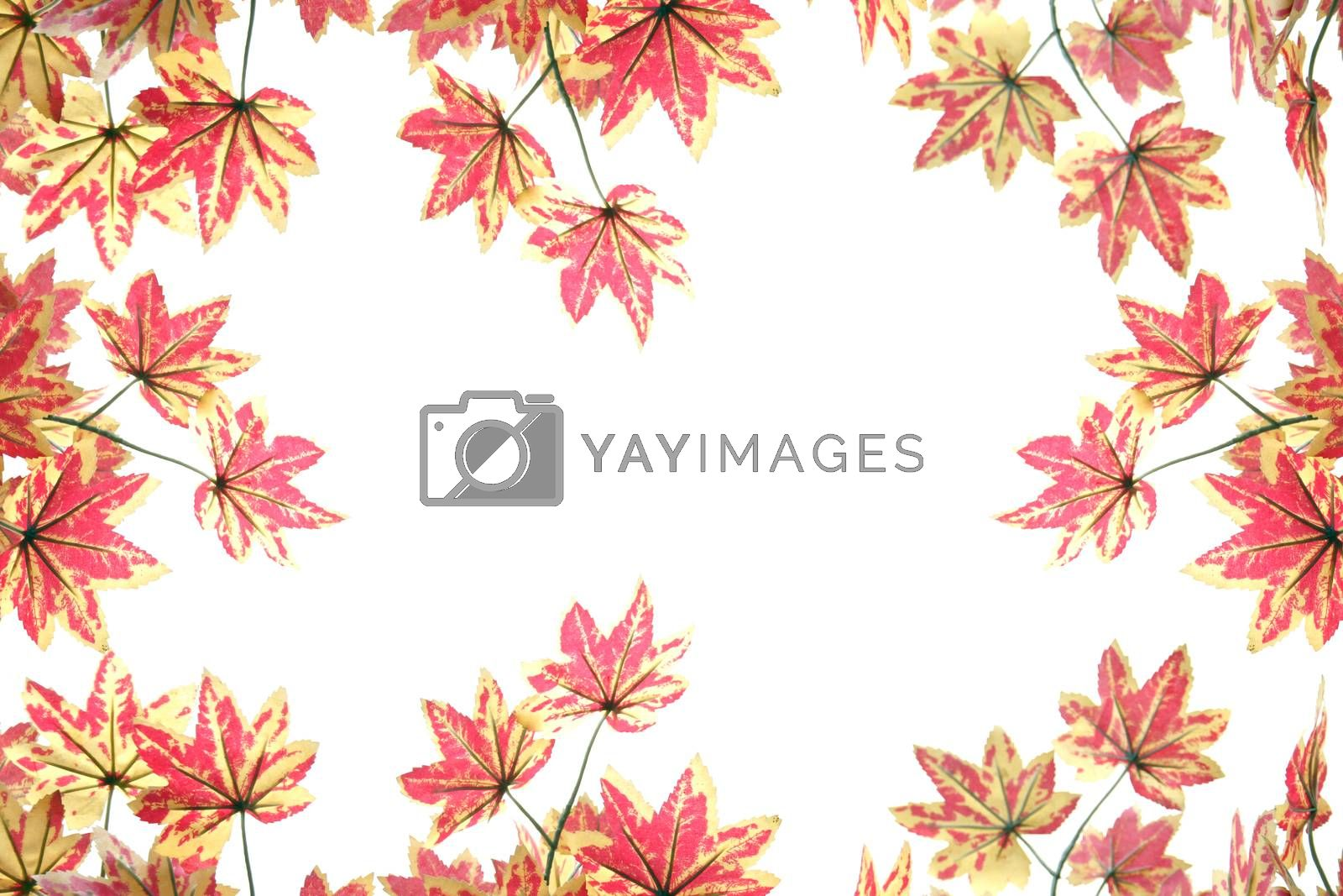 Yellowish orange maple leaves on white background.
