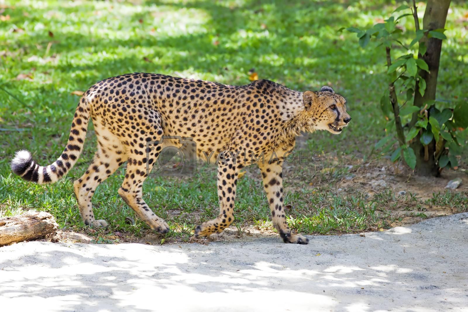 Wild Cheetah walking in the wilderness of Tanzania