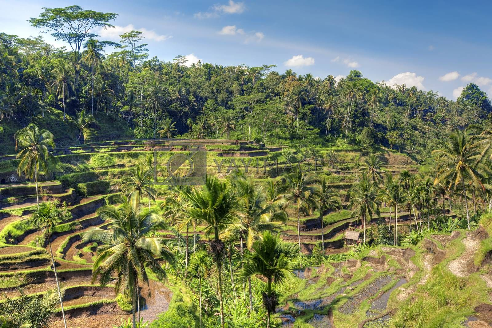 Tegalalang rice terrace fields in Bali Indonesia