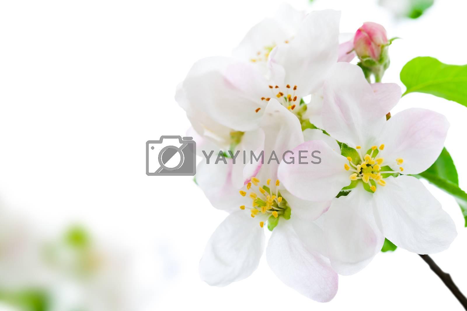 Apple flowers on white background for spring season