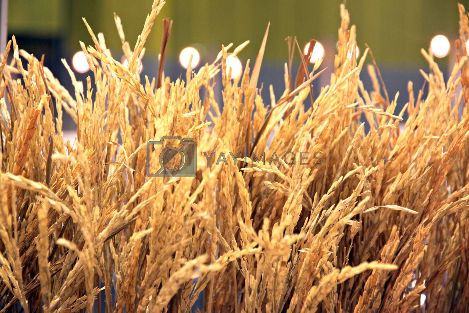 The Picture Rice are produce grains.