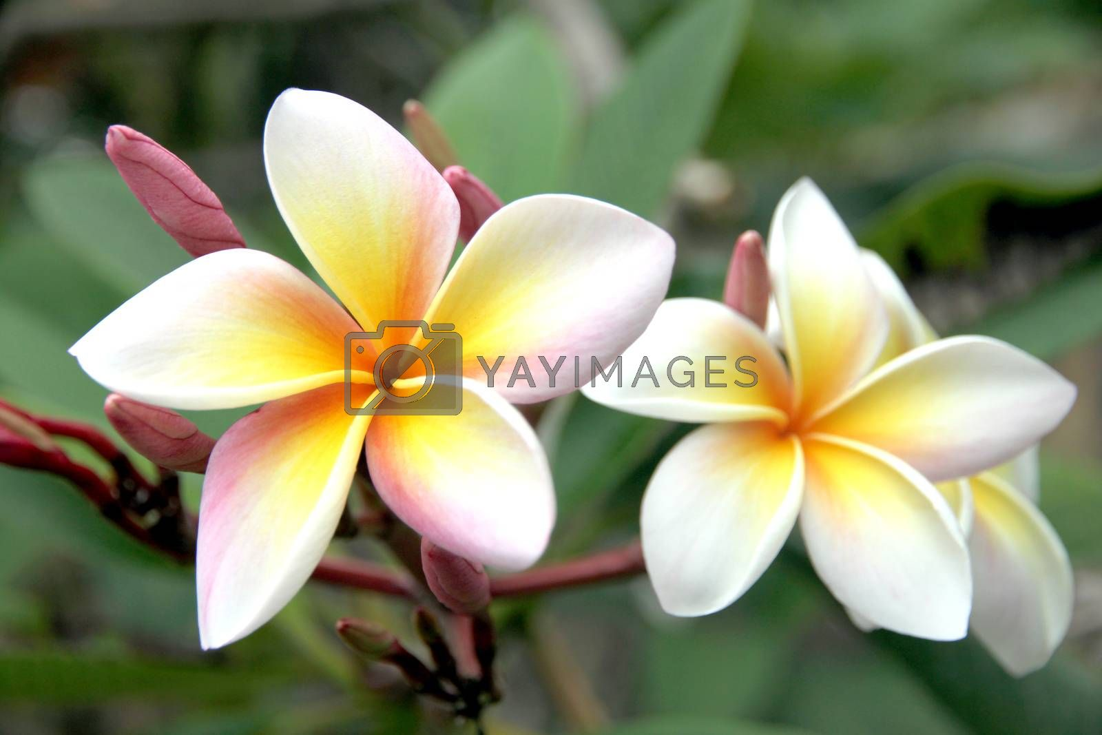 The Picture focus Frangipani flowers are yellowish white on tree.
