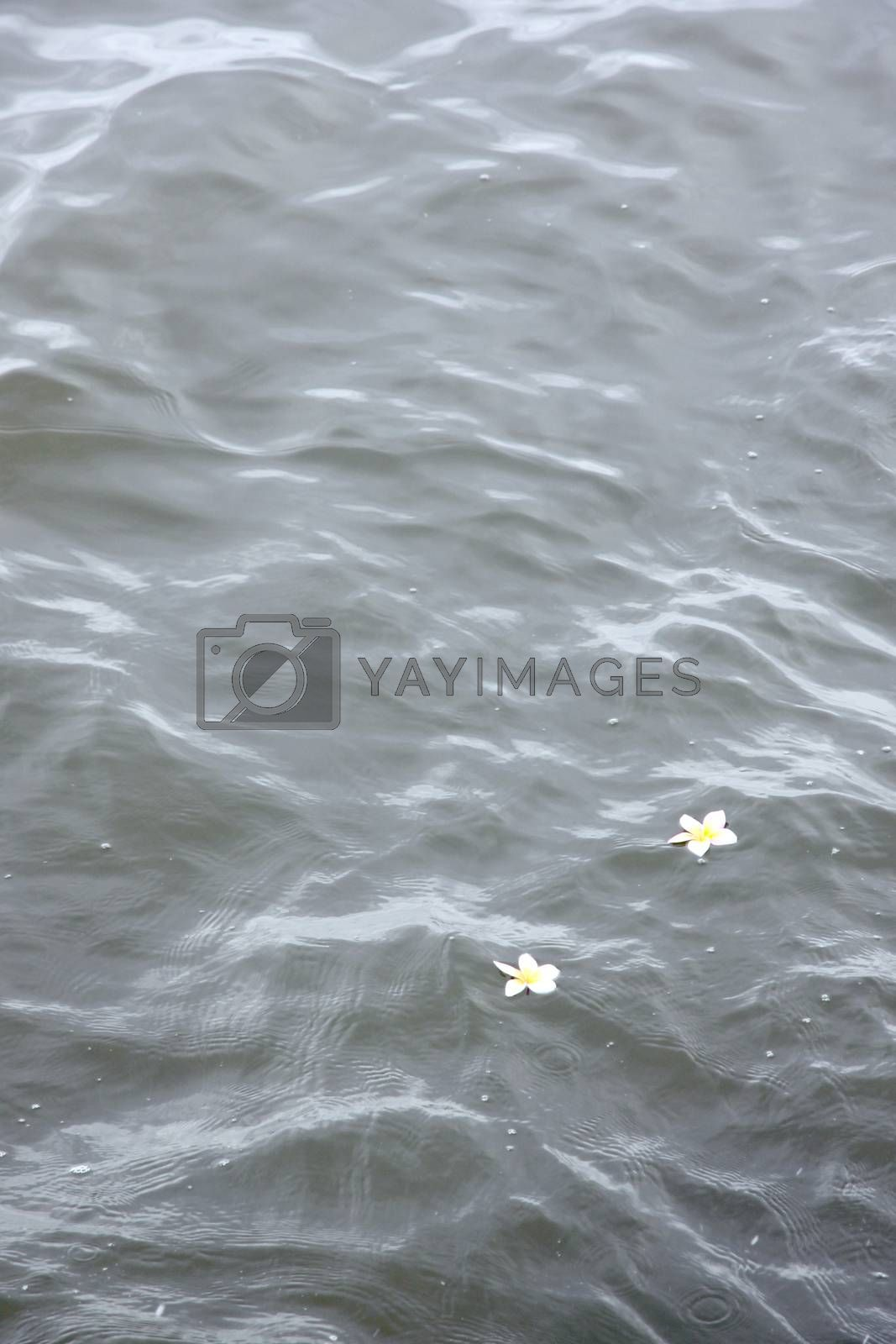 Picture focus Frangipani flowers in the top water.