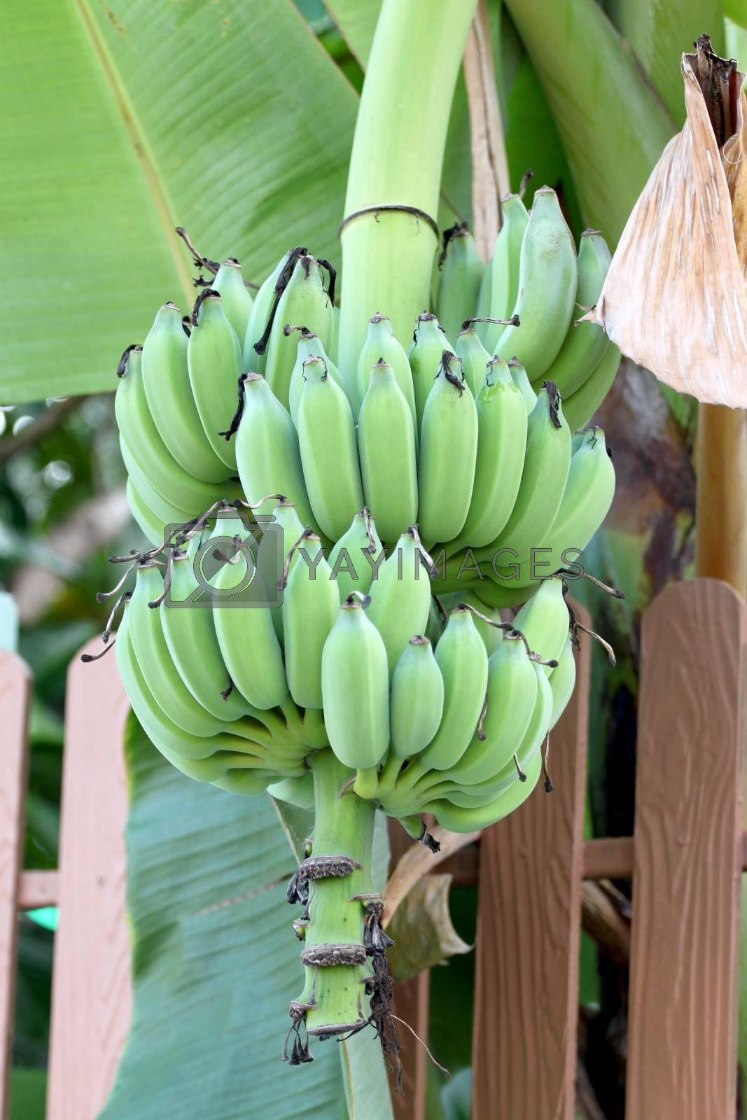 Not yet ripe banana on the side fence home.