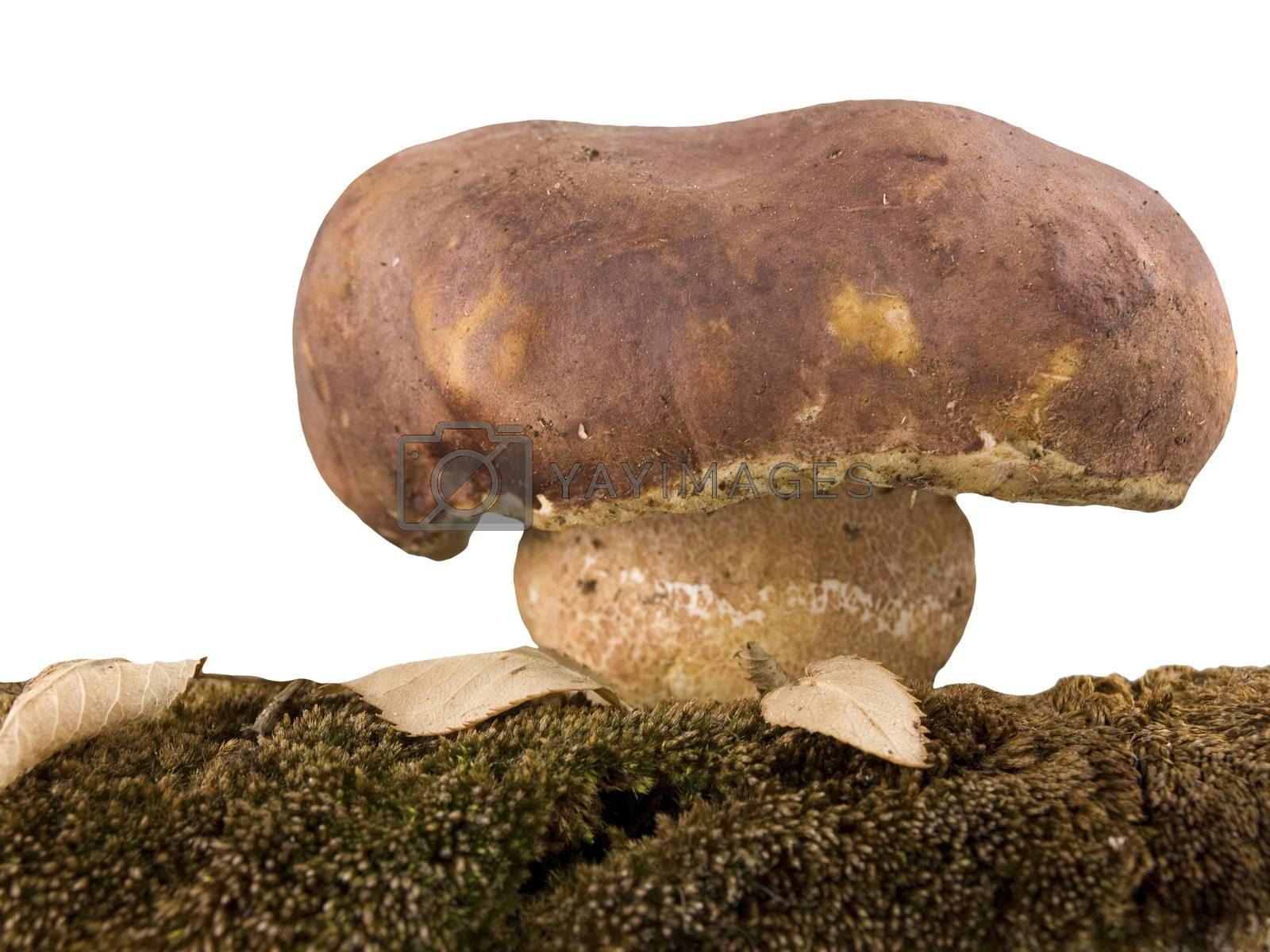 porcini mushrooms and moss isolated on white background