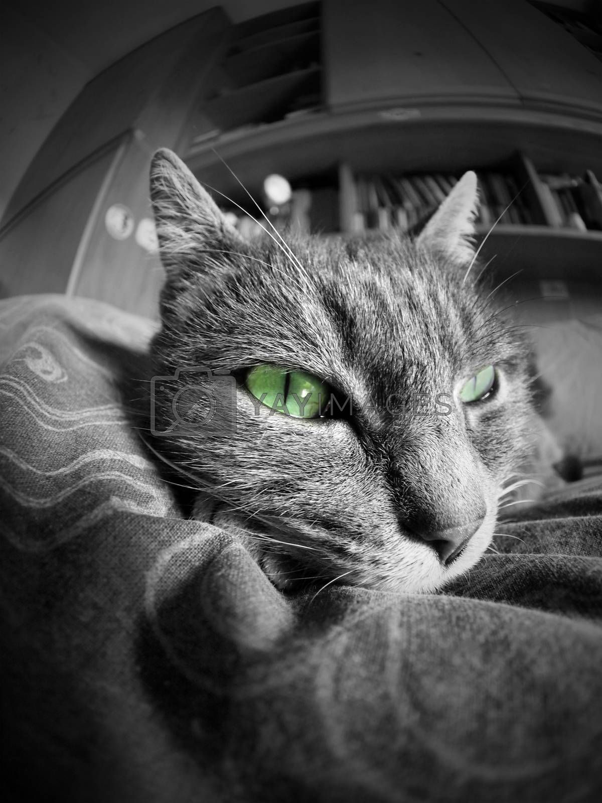 black and white cat portrait with green eyes