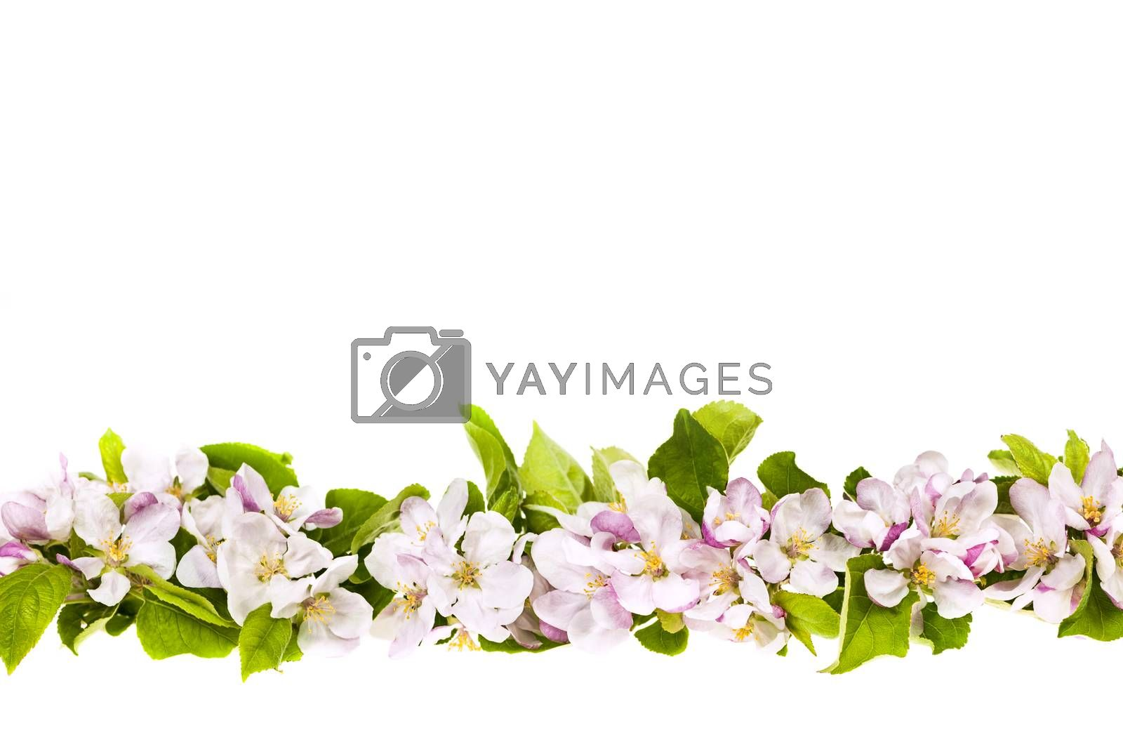 Border of pink apple blossoms row isolated on white background
