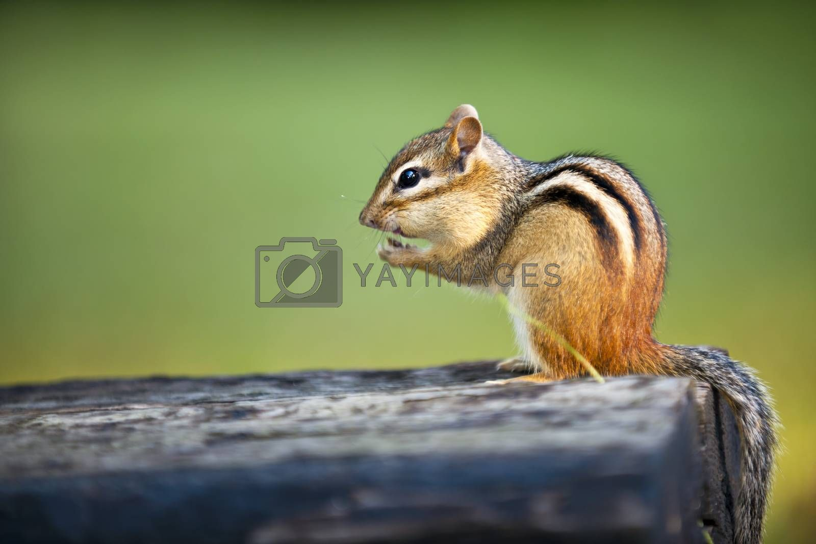 Wild chipmunk sitting on log eating peanut