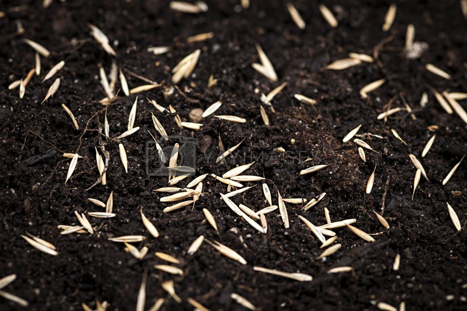 Closeup of grass seeds on fertile soil