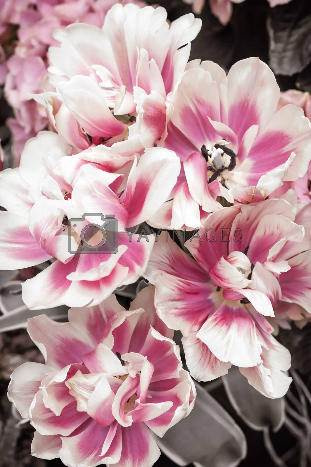 Pink and white tulips flowers close up