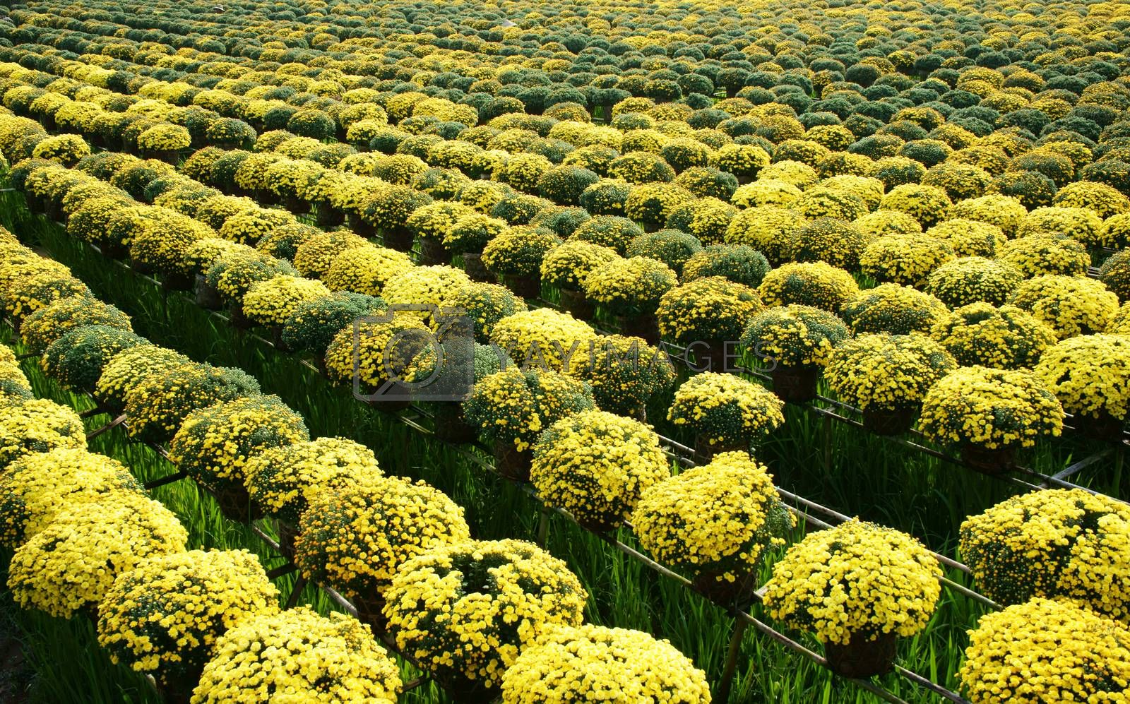 Success springtime crop with daisy flower blossom in bright yellow, ready for Vietnam Tet ( Lunar New Year)
