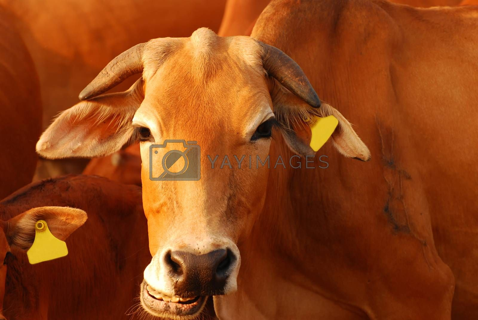 Brown cow smiling in sunligth