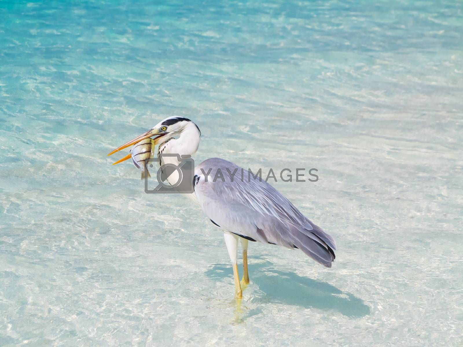 Bird holding fish in sea by get4net