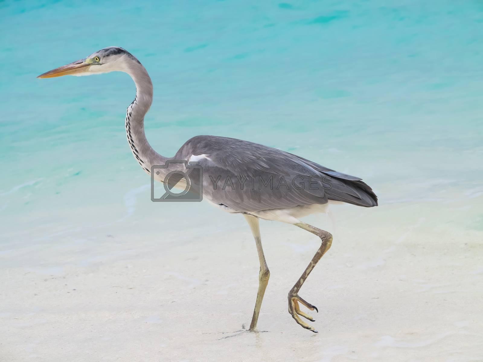 Sea heron on the beach by get4net