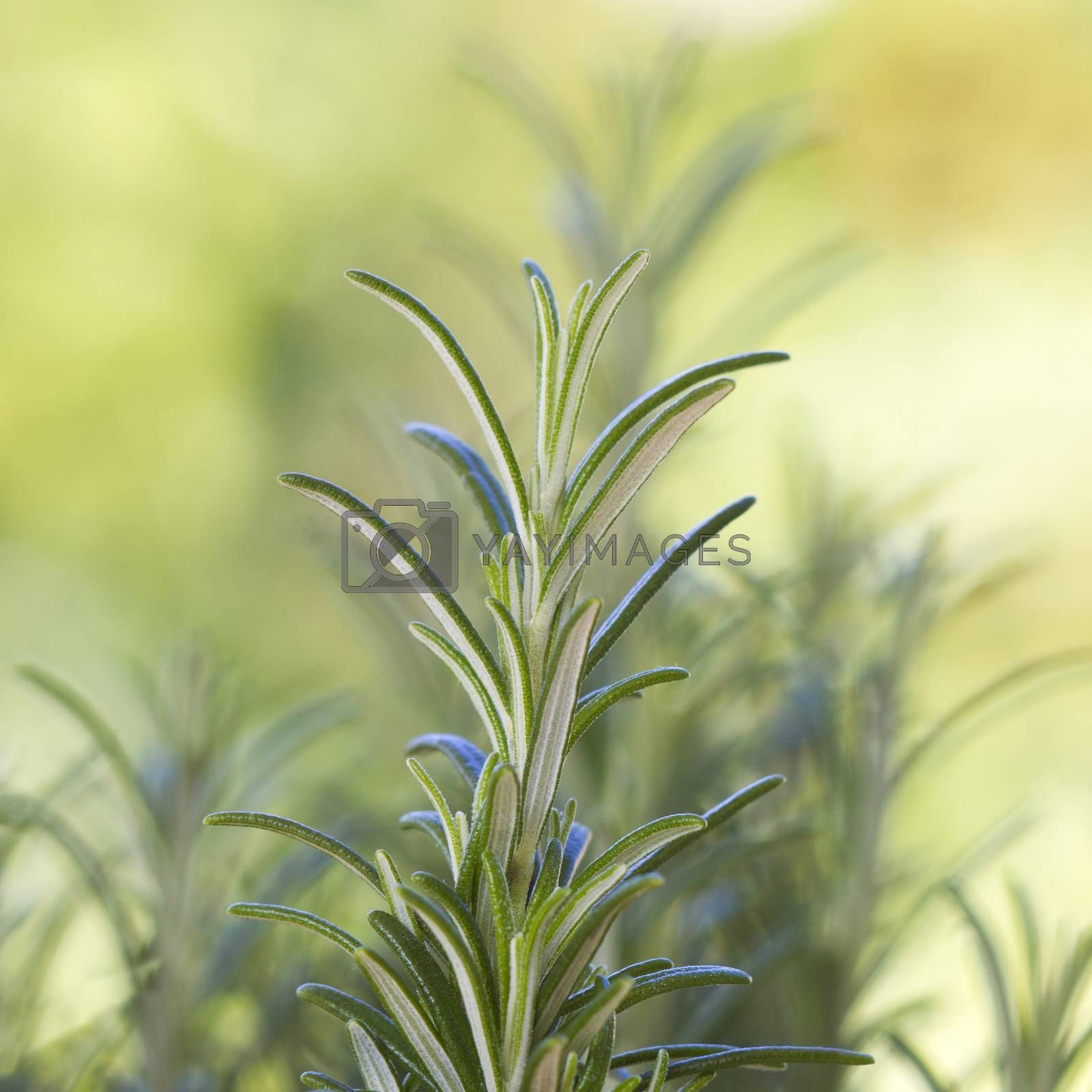 fresh rosemary in the garden (rosmarinus officinalis)