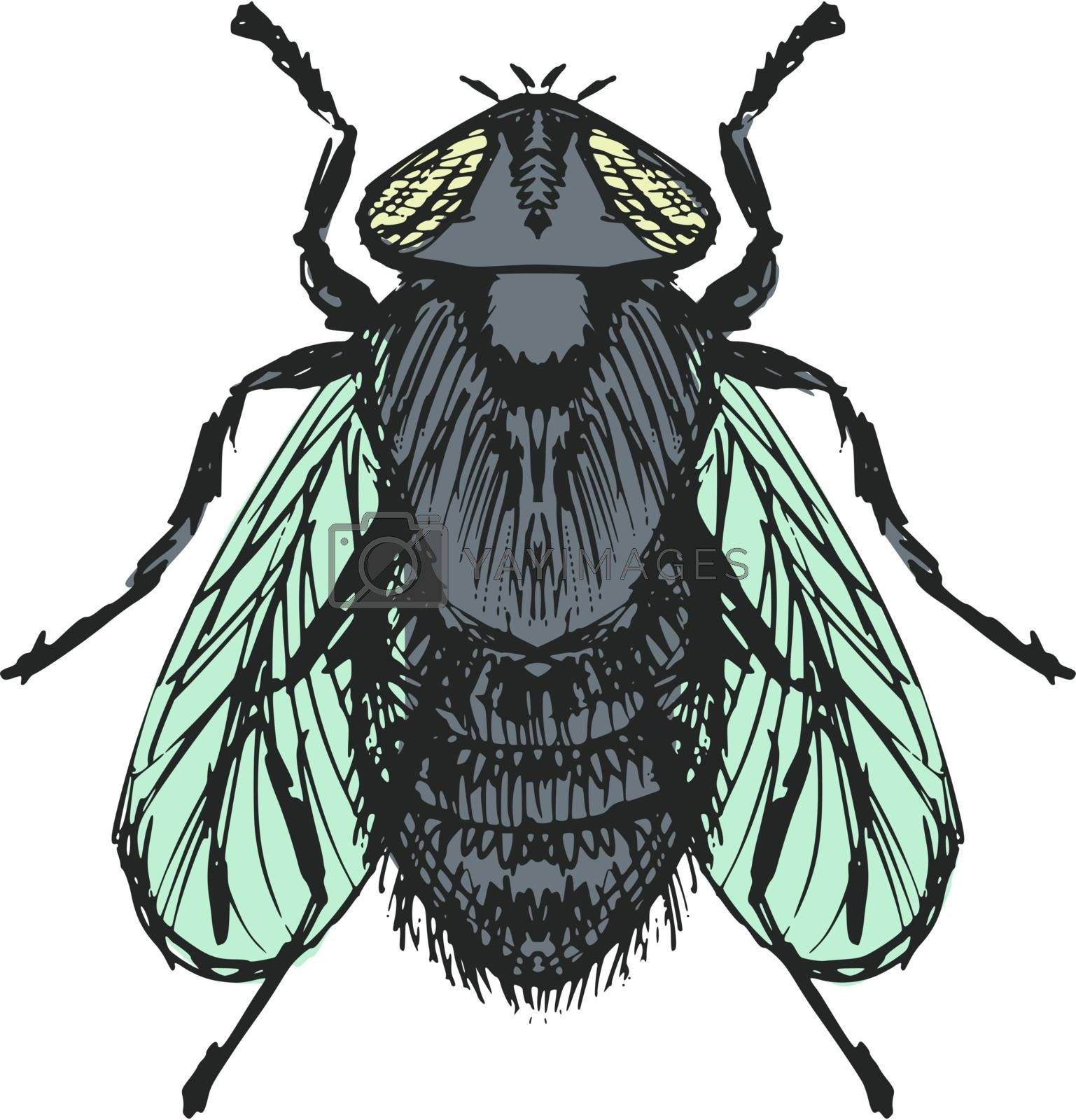Royalty free image of ordinary fly by Perysty