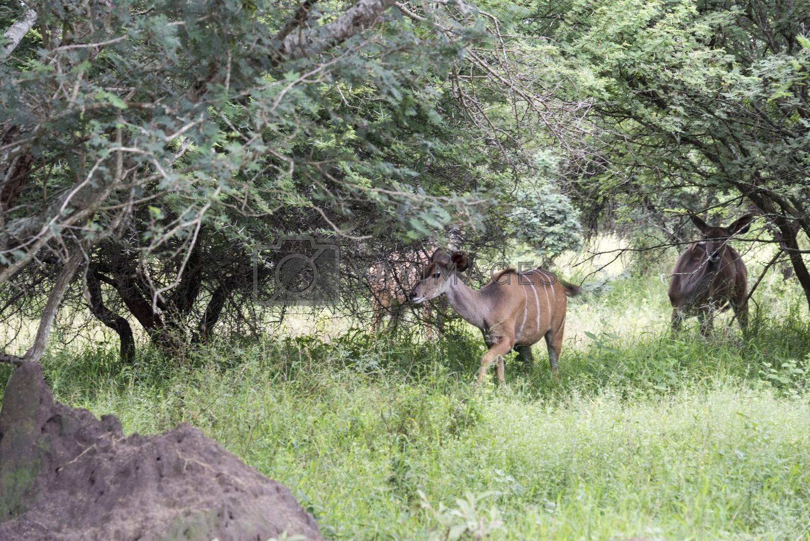 africa nyala on safari by compuinfoto