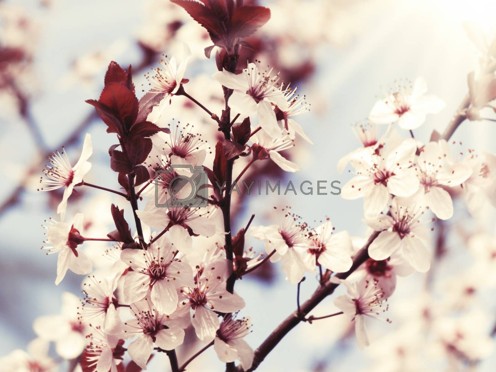Spring Blooming by razvodovska