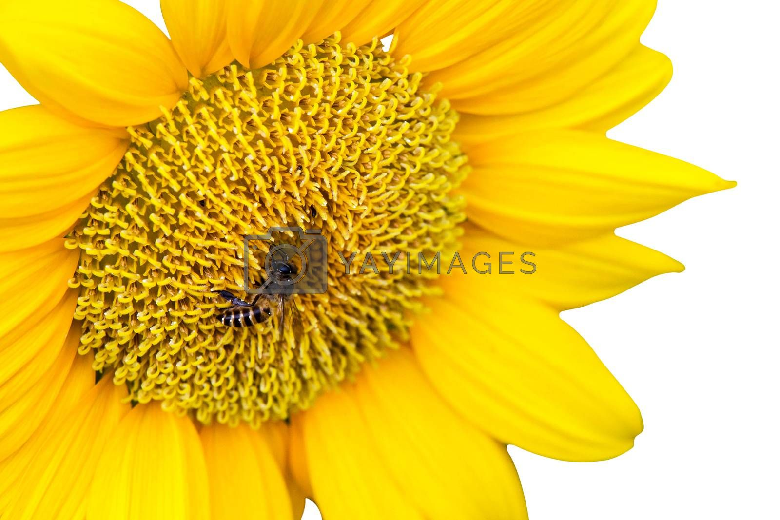 Close Up of Sunflower with bee isolate on white background by jakgree
