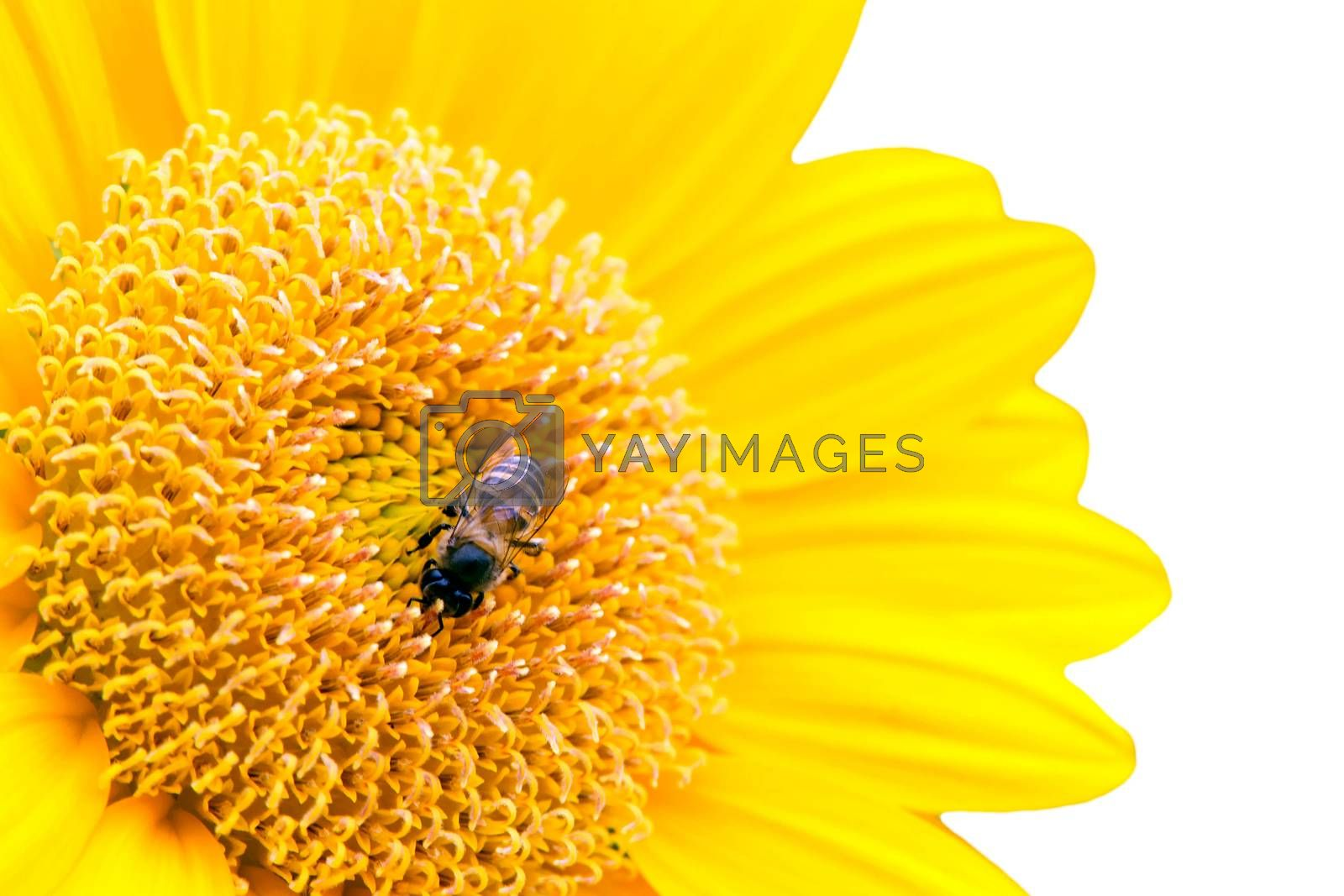 Close Up of Sunflower with bee isolate on white by jakgree