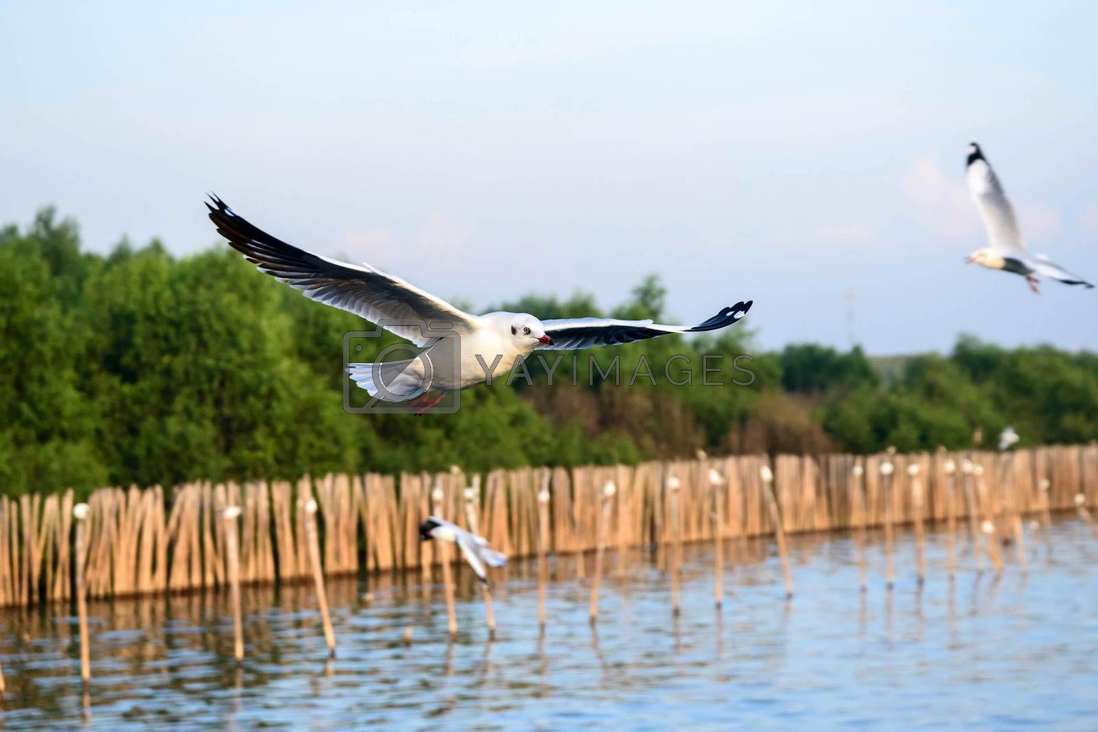 flying seagulls in action at Bangpoo Thailand by jakgree