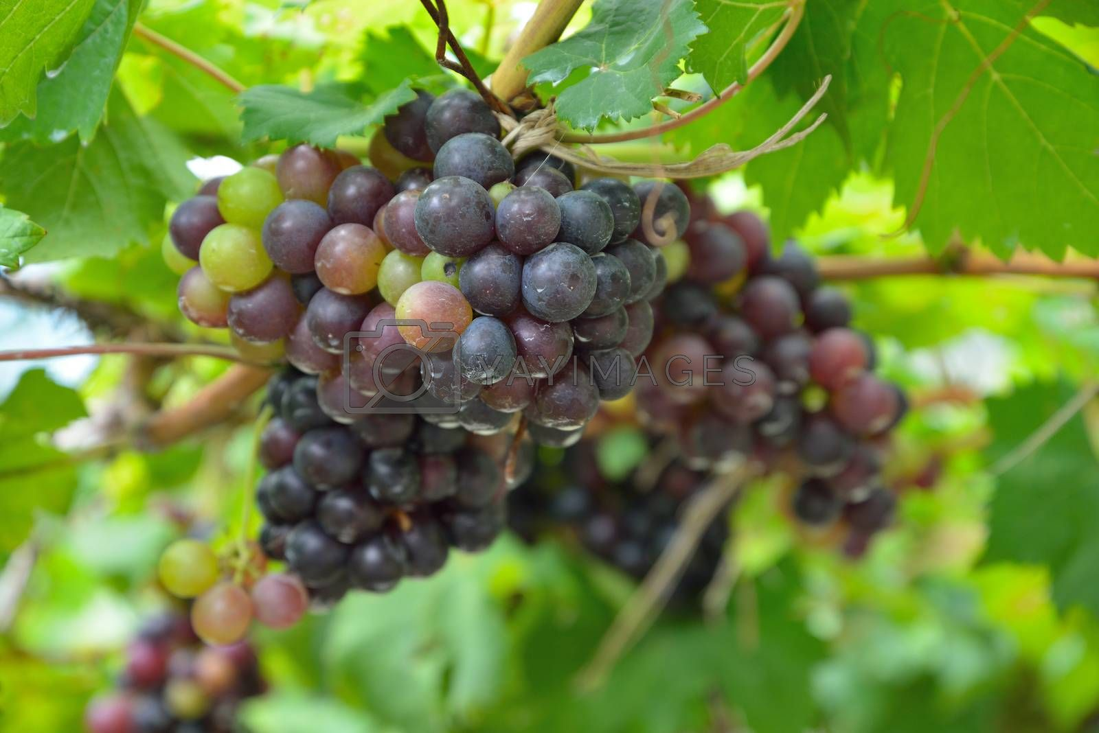 Grapes on the Vine by jakgree