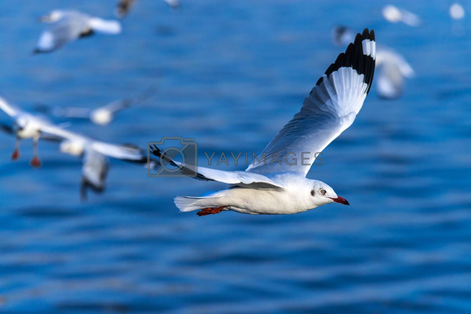 flying seagull in action by jakgree