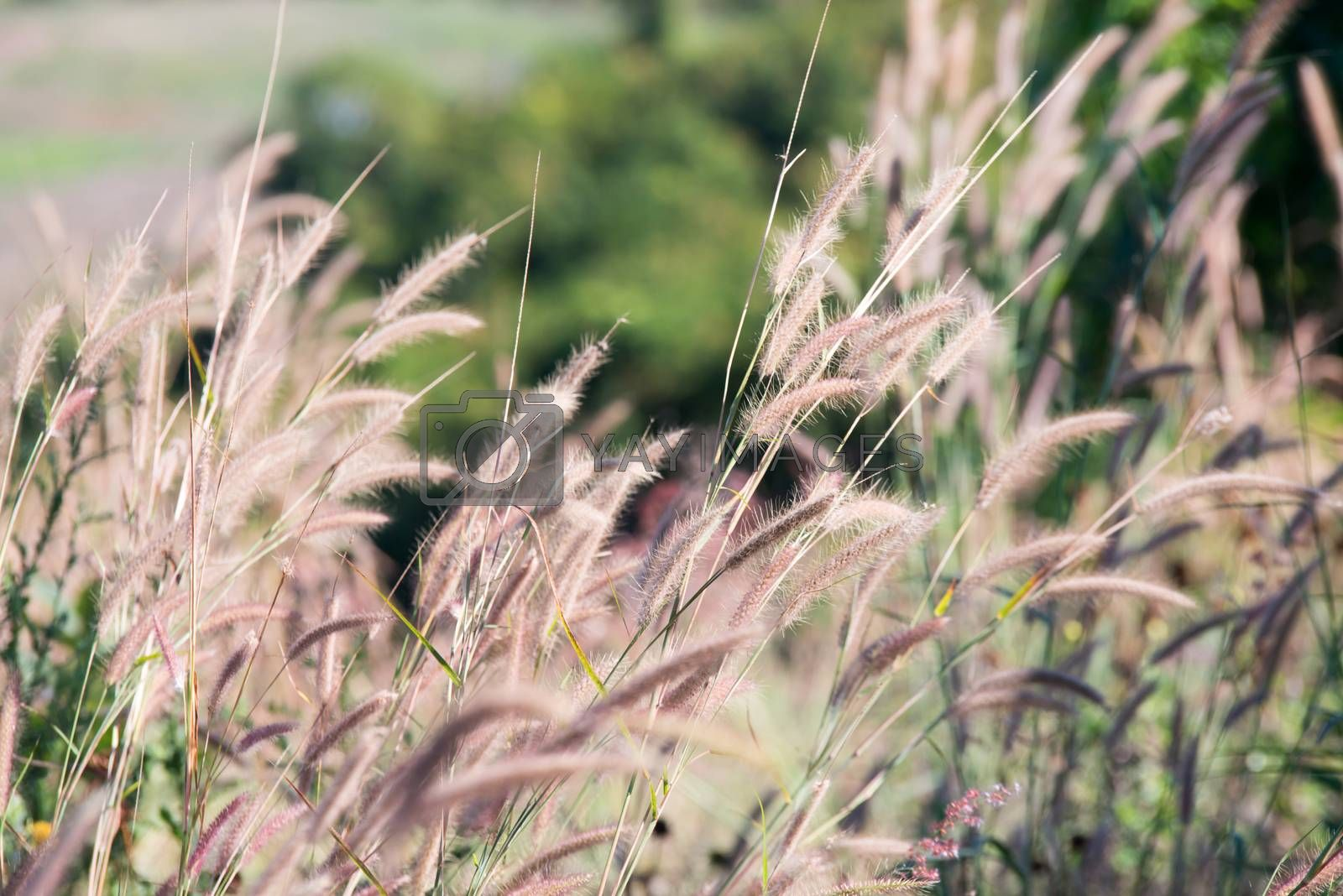 The flower of grass in evening time by jakgree