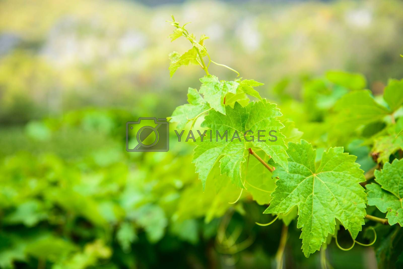 Bunch of green grapes leaves. by jakgree